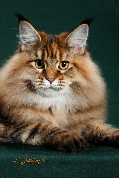 Females Rebekkah Welcome To Aslanspaw Maine Coons